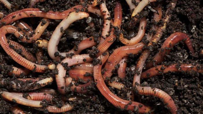 Compost worms in dirt.