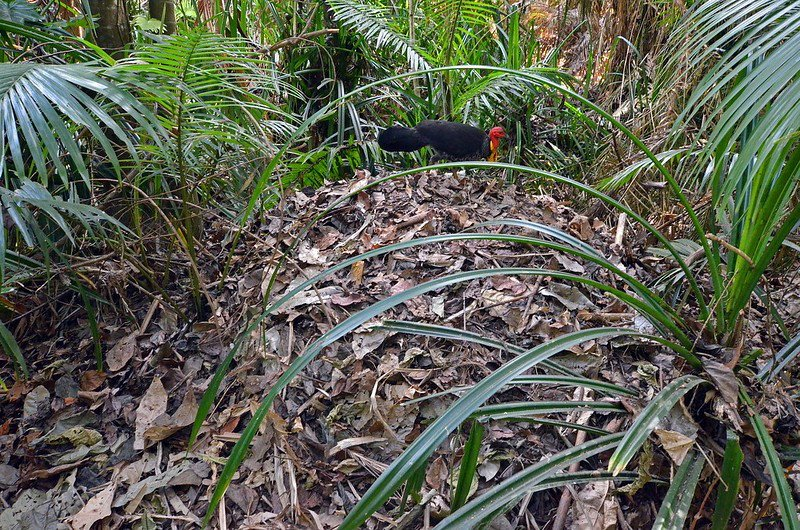 A Brush Turkey moves over a mound of leaves and compost material.
