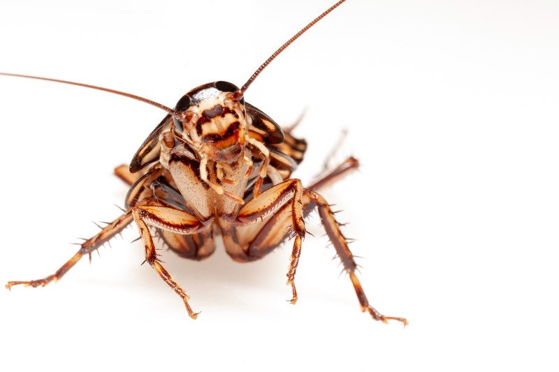 An inquisitive looking cockroach.