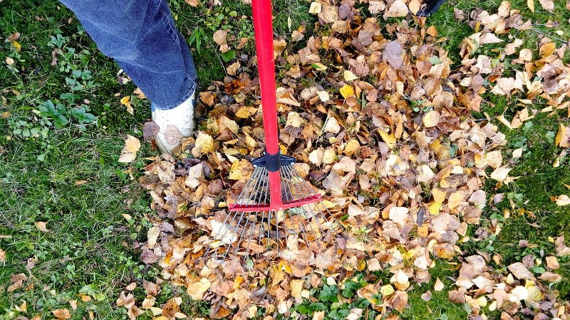 Raking up Fall Leaves.